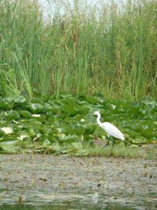 An egret on Dal Lake