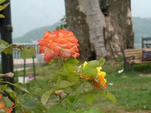 Flowers on Char Chinar