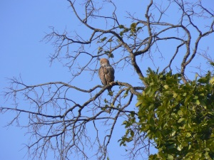 A crested hawk eagle